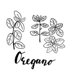 Ink oregano herbal vector