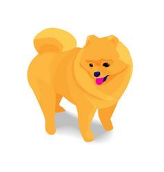 adorable orange pomeranian dog with shadow vector image