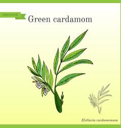 Aromatic plant green or true cardamom elettaria vector