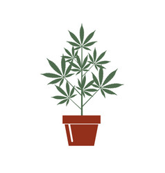 Cannabis plant in pot vector