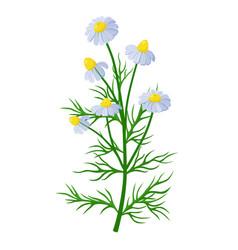 Chamomile healing flower medical vector