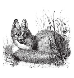 Eastern american red fox vintage vector