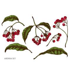 set hand drawn colored ardisia vector image