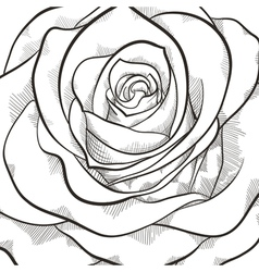 Background with beautiful black and white rose vector image vector image