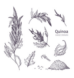 Collection of quinoa flowering plants leaves vector