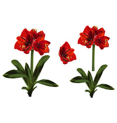 Decorative clivia amaryllis red branch lilies vector