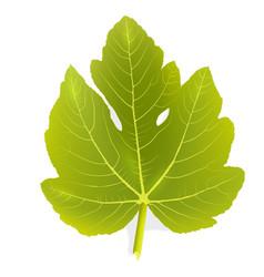 Fig leaf vector image vector image