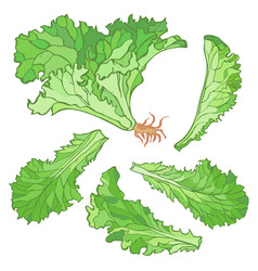 A set of lettuce leaves without vector
