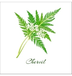 Blossoming chervil color vector image