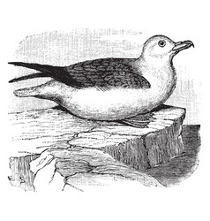Northern fulmar vintage vector