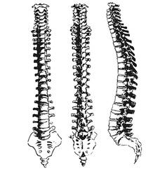 Spine vector