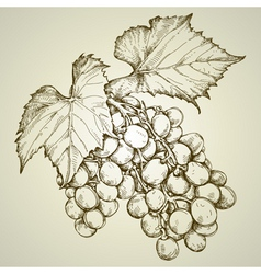 bunch of grapevine vector image