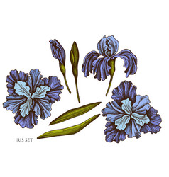 set hand drawn colored iris vector image