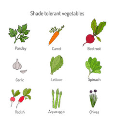 shade tolerant vegetables vector image