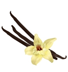 Vanilla pods isolated vector image vector image