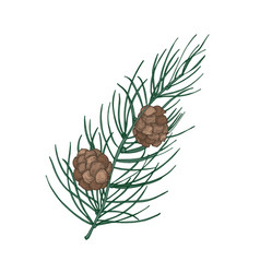 beautiful botanical drawing of pine branch with vector image
