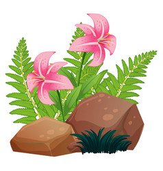 Pink lily flowers and rocks on white background vector