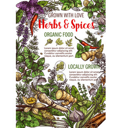 sketch poster of spices and herbs food vector image
