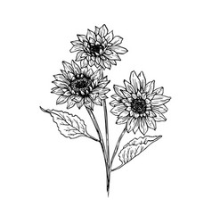 sunflower hand drawn ink pen vector image
