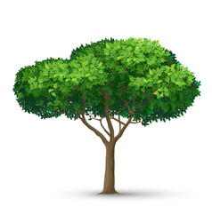 a tree with a dense crown and green leaves vector image