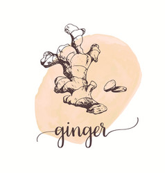 ginger sketch on watercolor paint hand drawn ink vector image