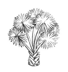 palm leaf tree texas palmetto monochrome vector image