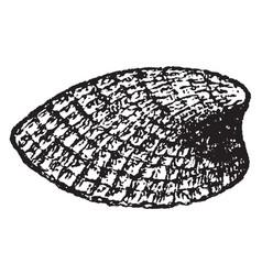 Emarginula reticulata vintage vector