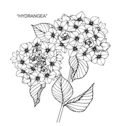 Hydrangea flower drawing vector