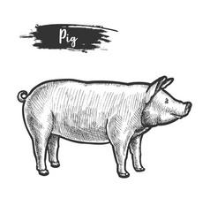 vintage sketch pig or pork animalpiggy piglet vector image