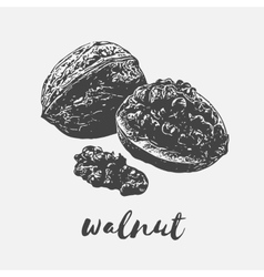Walnut Organic Food vector
