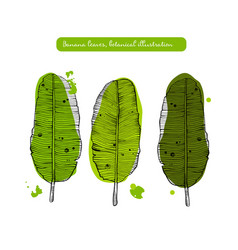 banana leaves sketch detailed vector image
