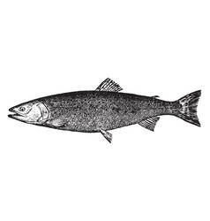 Salmon trout vintage vector