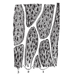 Bone section vintage vector