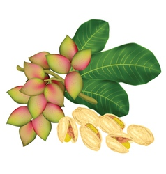 pistachio twig vector image vector image