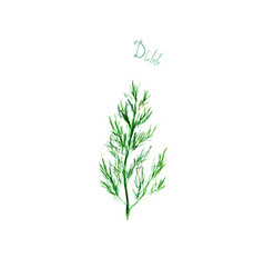 Dill herb spice isolated on white background vector