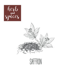 Saffron skech herbs and spices vector