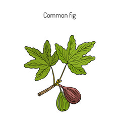 common fig vector image vector image