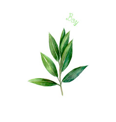 Bay leaves herb spice isolated on white background vector