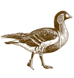 engraving of red-breasted goose vector image