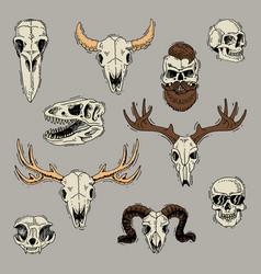 skulls boned head of animals of bull goat vector image