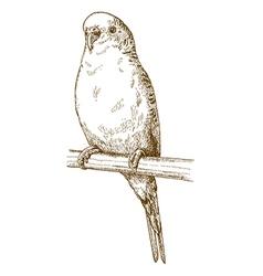 engraving budgerigar vector image