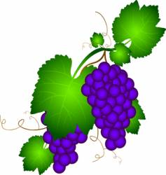 grapevine illustration vector image vector image