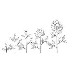 sunflower plant growth stages coloring vector image