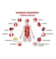 Body internal organs woman anatomy vector