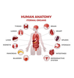 body internal organs woman body anatomy with vector image