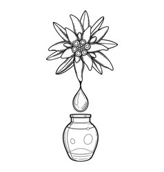 graphic oil drop dripping from edelweiss plant vector image