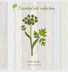 pure essential oil collection angelica wooden vector image