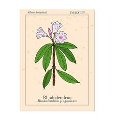 rhododendron qinghaiense medicinal plant vector image