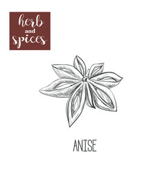 anise hand drawing herbs and spices vector image