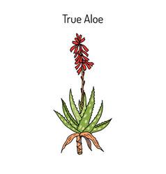 Aloe vera medicinal plant vector